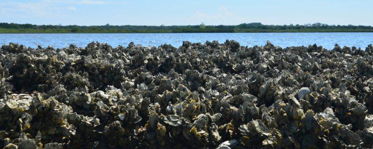 cropped-pellicer-oyster-reef.jpg