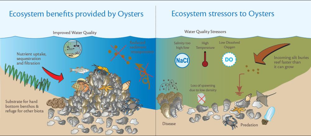 oyster_ecosystem_impacts_large