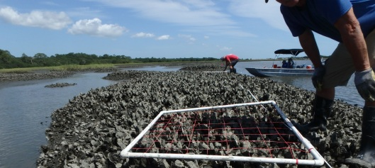 Conducting oyster monitoring at the GTM Research Reserve