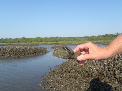 Oysters in the Guana River