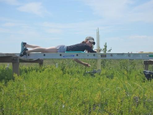Taking Sediment Elevation Table measurements at one of the GTM vegetation platforms