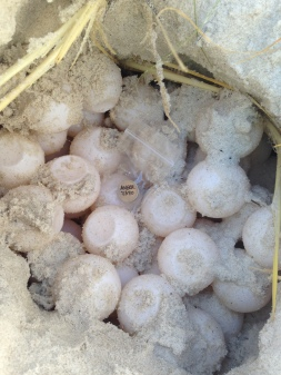 Loggerhead nest